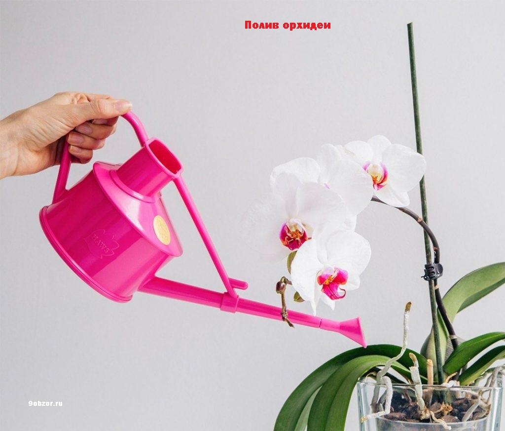 Орхидея фаленопсис уход в домашних после покупки