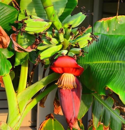 полив банана дома