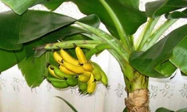 банан в домашних условиях