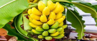 вырастить банан в домашних условиях