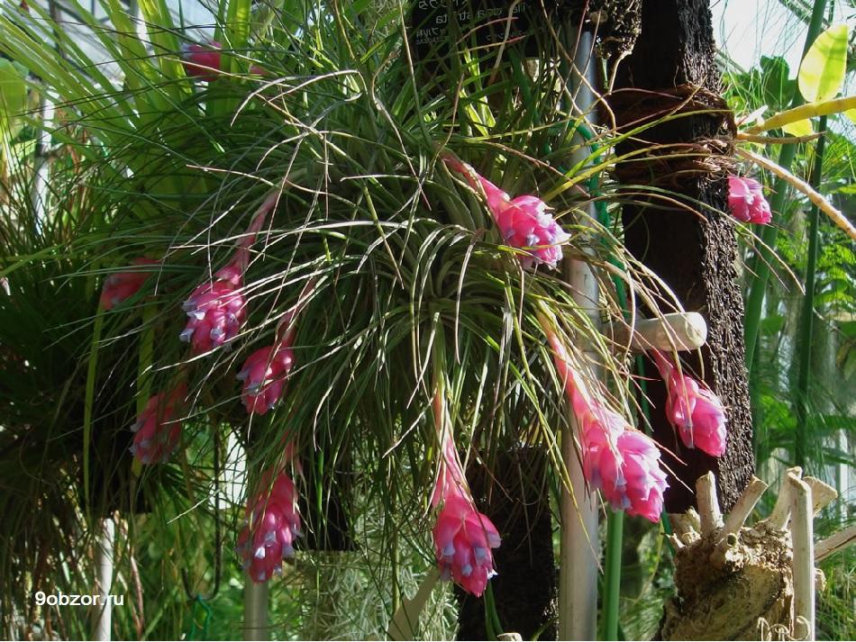 растение тилландсия