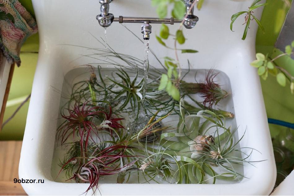 полив воздушных растений
