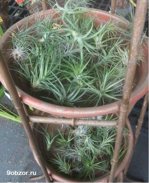 растение тилландсия в корзине