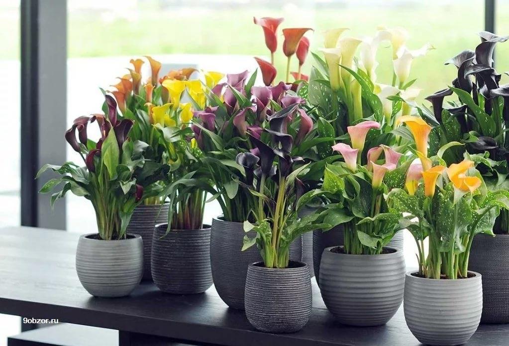 каллы цветы выращивание в квартире