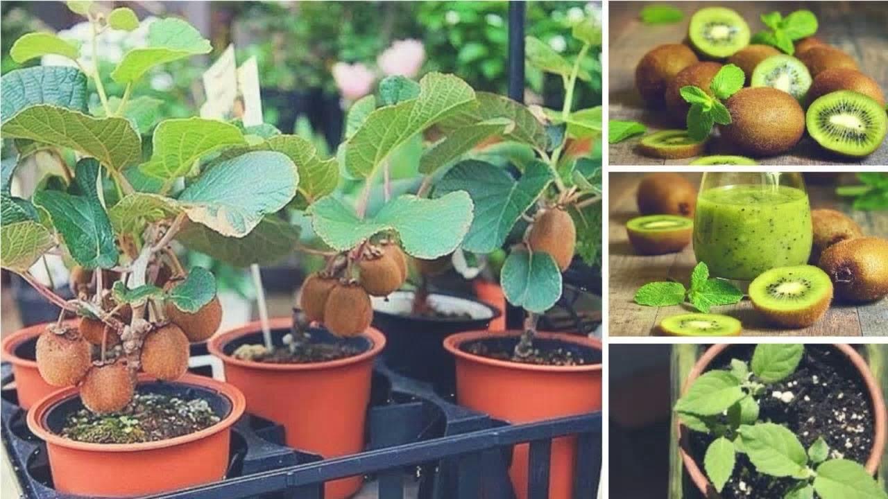 vyrastit-kivi-v-domashnih-usloviyah