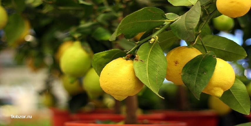 kak-vyraschivat-limon-doma