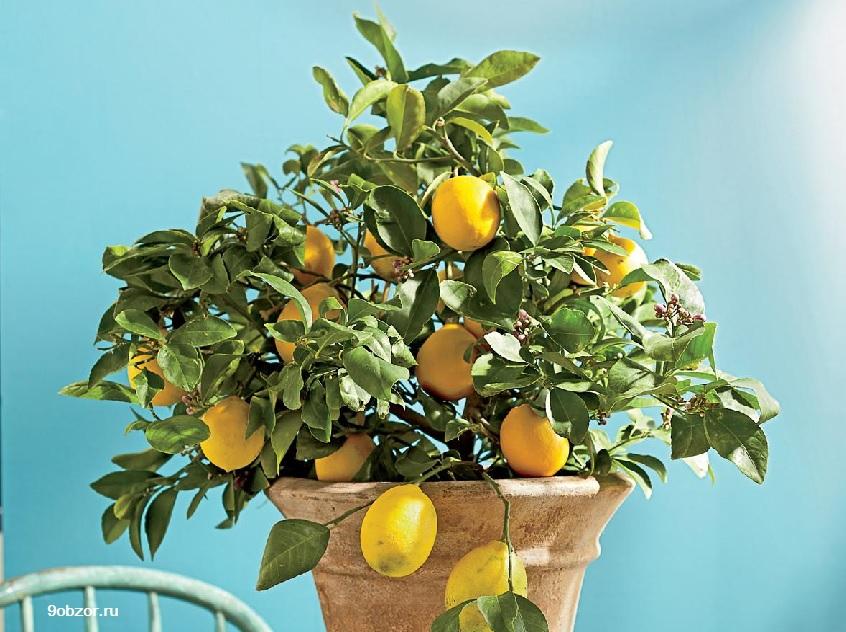 выращивать лимон дома