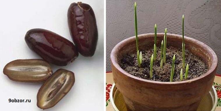 как вырастьть финик из косточки дома